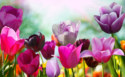 Spoed canvasdoek 2cm dik Tulp Beautiful spring flowers, tulips