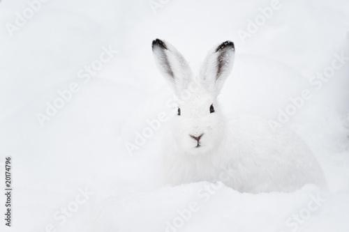 Leinwanddruck Bild Mountain Hare (lat. Lepus timidus)