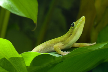 Gold dust gecko; Goldstaubtaggecko; Phelsuma laticauda