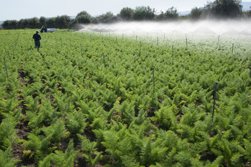 Irrigation Of Field
