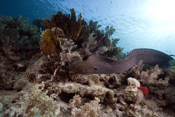 Giant moray, ocean and coral
