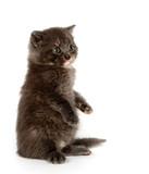 Gray kitten begging poster