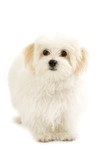 bichon maltese looking away poster