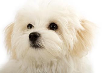 face of an adorable bichon maltese
