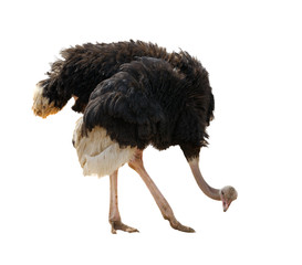 Ostrich, isolated