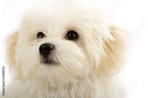face of an adorable bichon maltese