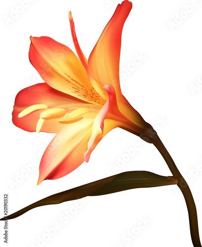kwiat-oddzialu-amaryllis