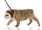 nine week old english bulldog puppy walking on a leash poster