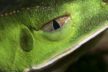 Frog.Rana . Cuenca del Río Napo. Amazonia. Ecuador