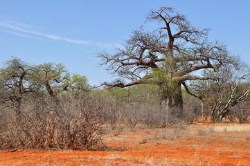 baobab tree and brick colored soil,Limpopo,South Africa