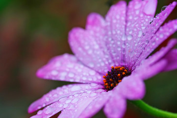 Water droplets collect on the leaves of a daisy