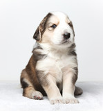 obedient puppy poster