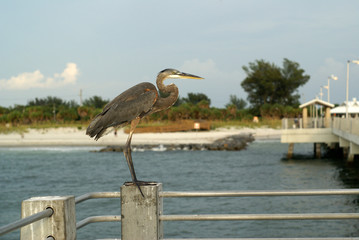 blue heron on the pier