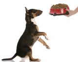 bull terrier sitting up  begging for dog food - nine months old poster