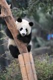 panda climbing tree