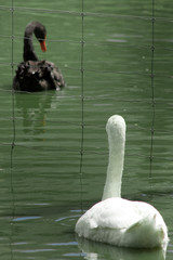 white swan - black swan