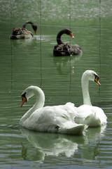 white swans - black swans