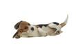 position détendue d'un chiot beagle en studio sur fond blanc