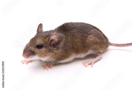 White-Footed Mouse Isolated