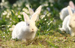 white rabbits on green meadow