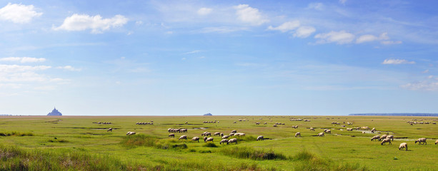 salted lamb on pasture. Mont Saint Michel in the background