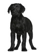 Labrador puppy, standing in front of white background