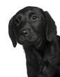 Close-up of Labrador puppy, in front of white background