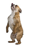 English bulldog, standing on hind legs against white background