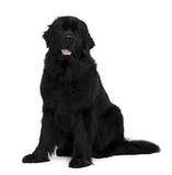 Newfoundland dog, sitting in front of white background poster