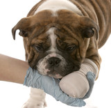 gloved hand holding on to wounded paw of bulldog puppy poster