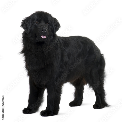 Newfoundland puppy, standing in front of white background