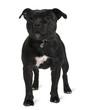 Staffordshire bull terrier, standing