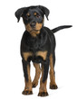 Rottweiler puppy, standing in front of white background