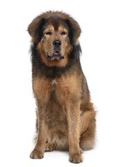 Tibetan mastiff, sitting in front of white background