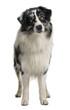 Australian Shepherd dog, standing in front of white background