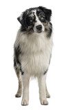 Australian Shepherd dog, standing in front of white background