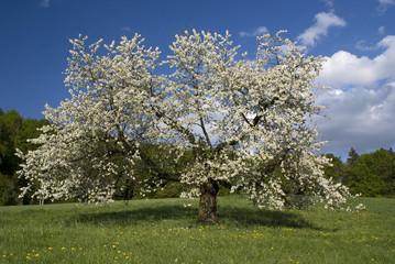 Blühender Kirschbaum-2