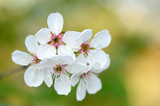 White cherry flowers