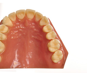 Model teeth and gums on white