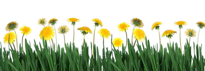 green grass and dandelions
