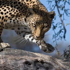 Leopard - Blick