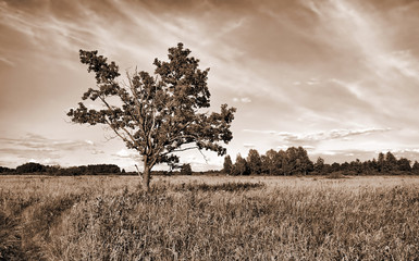 oak on field. sepia.