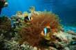 Red Sea Anemonefishes (Amphiprion bicinctus) in Bubble Anemone