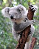 Fototapety Curious koala