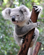 """Постер, картина, фотообои """"Curious koala"""""""