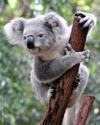 Poster Australië Curious koala