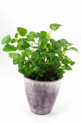 Balm-mint in ceramic pot