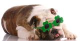 ugly looking english bulldog wearing shamrock glasses poster
