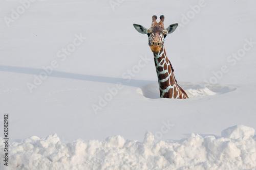 In de dag Giraffe Giraffe in deep snow
