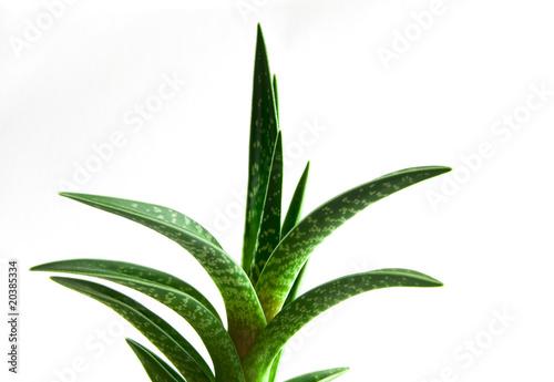 Papiers peints Cactus Aloe Vera